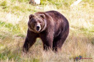 Orsa Raubtierpark – Bären hautnah erleben